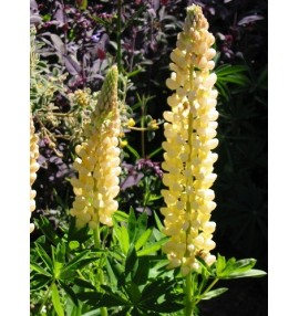 Lupinus chandelier as per nobel maiden but with tightly packed yellow flowers aloadofball Gallery