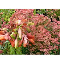 Euphorbia characis hyb Marshwood Red with Lilium brownii hyb